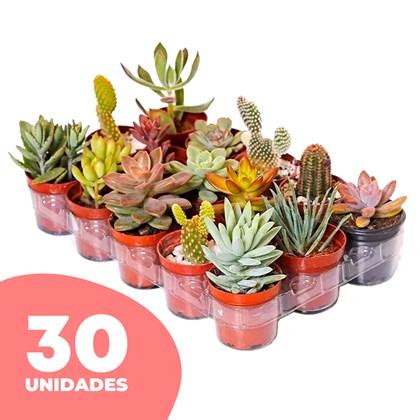 30 Mini Suculenta Pote 06