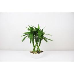 Arranjo Bambu Da Sorte 2 - Dracaena Sanderiana