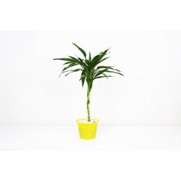 Arranjo Bambu Da Sorte 3 - Dracaena Sanderiana
