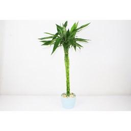 Arranjo Bambu Da Sorte 4 - Dracaena Sanderiana