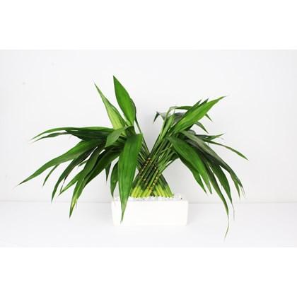 Arranjo Bambu Da Sorte 6 - Dracaena Sanderiana