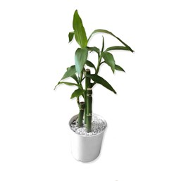 Arranjo Bambu Da Sorte 7 - Dracaena Sanderiana