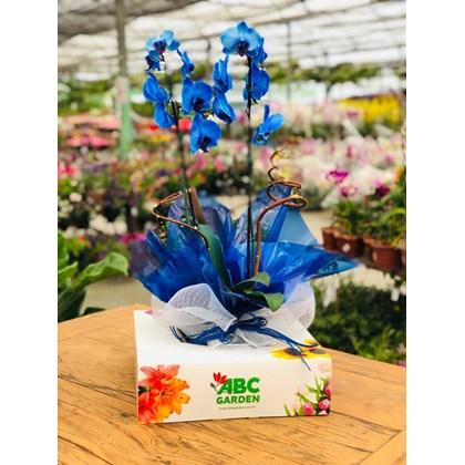 Arranjo De Orquídea Phalaenopsis Azul Glamour