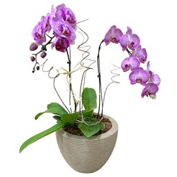 Arranjo de Orquídea Phalaenopsis banca no cachepô de Alumínio Vermelho