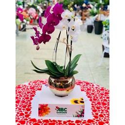 Arranjo de Orquídea Phalaenopsis Branca