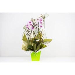Arranjo De Orquídea Phalaenopsis Branca Mix