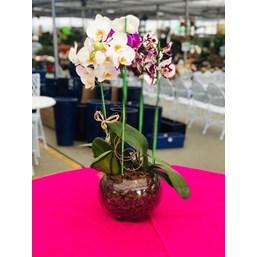 Arranjo De Orquídea Rara Phalaenopsis