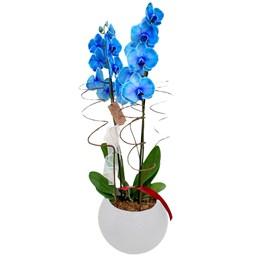 Arranjo de Orquídeas Azul - Vaso Branco