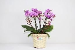 Belo Arranjo De Orquideas Phalaenopsis Mini