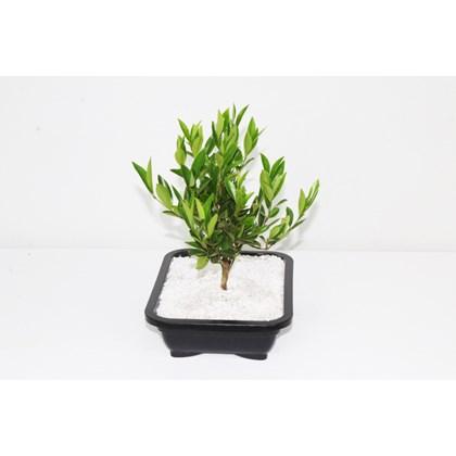 Bonsai Jovem Frutifera DIiversas espécies