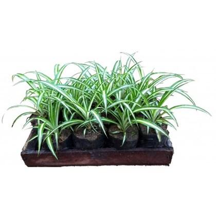 Clorofito - Caixa com 15 unidades (LEIA A DESCRIÇÃO)