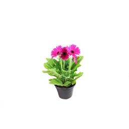 Gérbera Rosa Escuro Pote 14