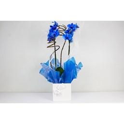 Lindo Presente De Orquídea Phalaenopsis Azul