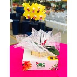 Magnifico Arranjo De Orquídea Phalaenopsis Amarela