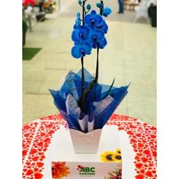 Majestoso Arranjo De Orquídea Phalaenopsis Azul