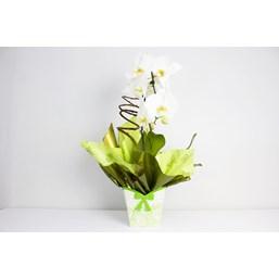 Maravilhoso Arranjo de Orquídea Phalaenopsis Cascata Branca