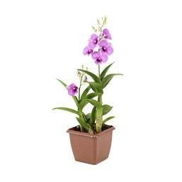 Mini Orquídea Denphal Pote 12 - Cores Variadas