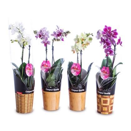 Mini Orquídea Phalaenopsis Pote 9 - Cores Variadas