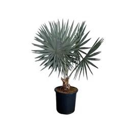 Muda de Palmeira Azul Bismarckia