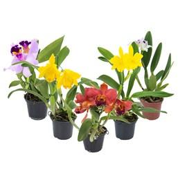 Orquídea Cattleya Pote 15 - Cores Variadas