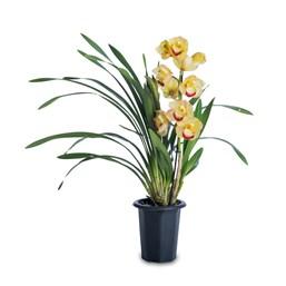 Orquídea Cymbidium - Cores Variadas