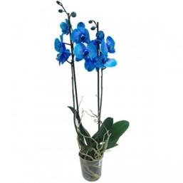 Orquídea Phalaenopsis Azul - Pote 12