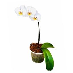 Orquídea Phalaenopsis pote 13 Branca 1 haste