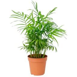 Palmeira Chamaedórea Pote 11