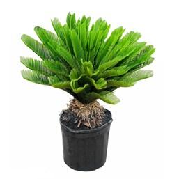 Palmeira Cica Revoluta - Grande