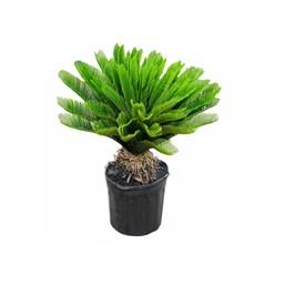 Palmeira Cica Revoluta - Pequena