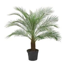 Palmeira Fênix - 1,30m