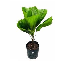 Palmeira Leque - Licuala