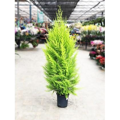 Pinheiro de Natal - Tuia Holandesa Pote 24