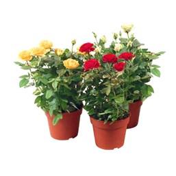 Roseira Mini Pote 13 - Cores Variadas
