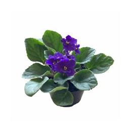 Violeta Pote Rosa 11